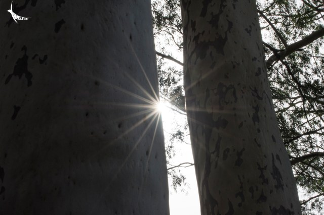 Sun through the row of Eucalyptus in Chahala
