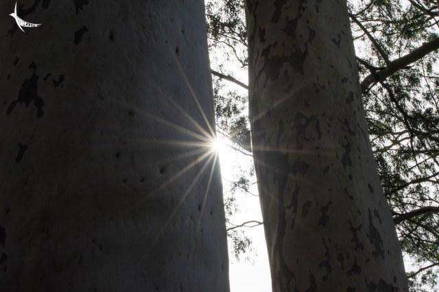 Sun through the row of Eucalyptus in Chahala