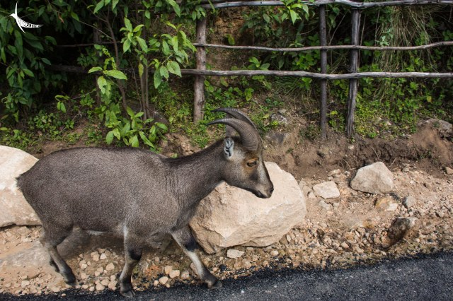 This Tahr came out of its grazing ground to socialise with the humans