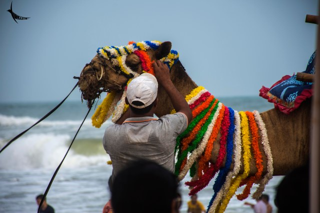 The Camel gets decked up for the tourists