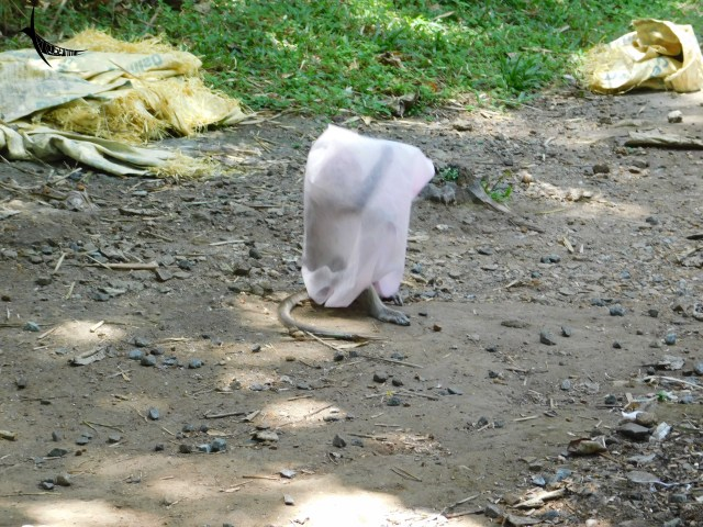 Macaque playing with a carry bag disposed of by some careless human