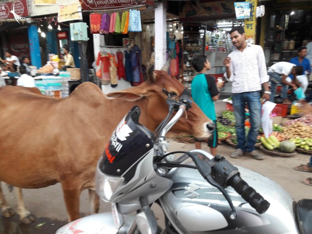 This cow uses the bike handle to get a good scratch in its ear