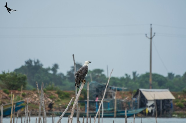 White Bellied Sea Eagle