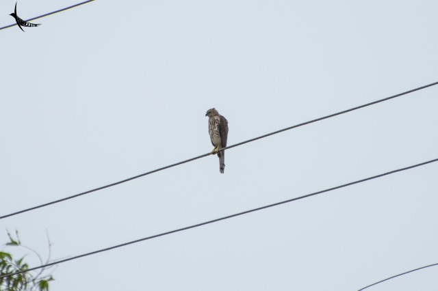 Seems to be a crested Hawk Eagle