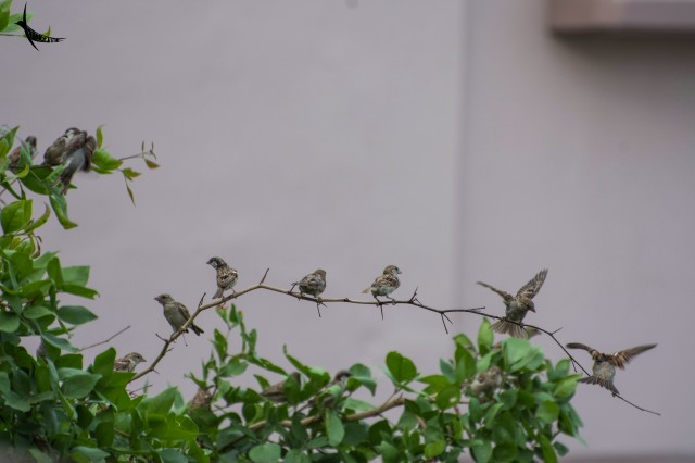 Sparrow larks are the neighbour of the hotel boarders