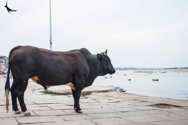 A holy bull