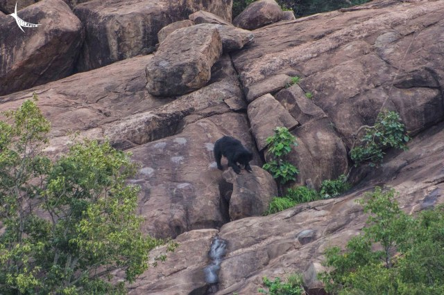 The bear cub climbing down the rocks