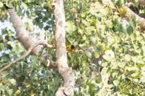Black hooded Oriole male