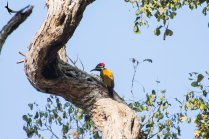 Black-rumped flameback Woodpecker