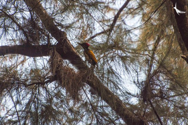 Black rumped Flameback