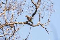 Brown-headed Barbet