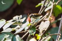 Crimson-backed Sunbird female
