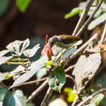 Crimson-backed Sunbird female