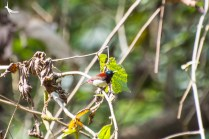 Crimson-backed sunbird male