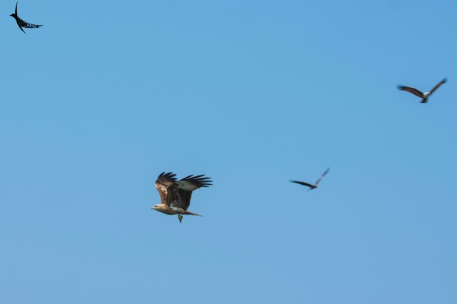 The Black Kite with the fish and others to snatch it