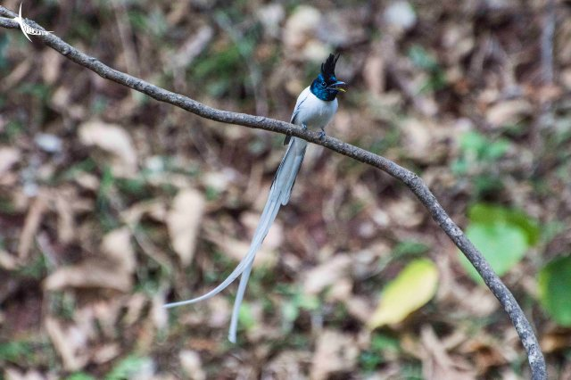 Indian Paradise Flycatcher male