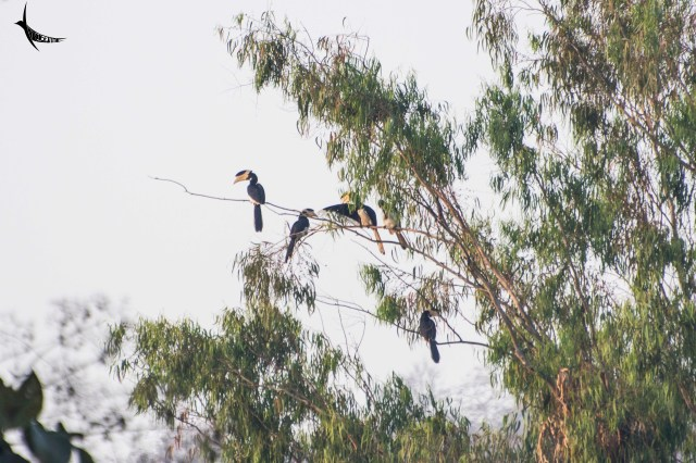 My last visit was in search of the Malabar Hornbills and now they were everywhere like common crows