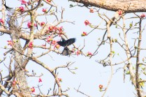 Spangled Drongo in flight