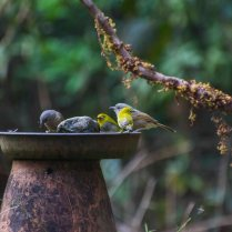 Oriental White Eye with Brown Cheeked Fulvetta