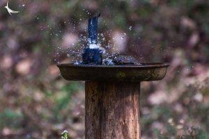White-rumped Shama splashes in the bird bath