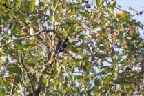 Heart-spotted woodpecker