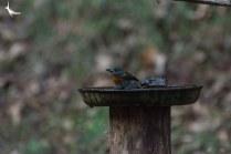 Indian Blue Robin Female
