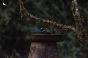 Indian blue Robin male