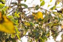 Jerdon's leaf bird female