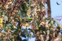 Jerdon's leaf bird male