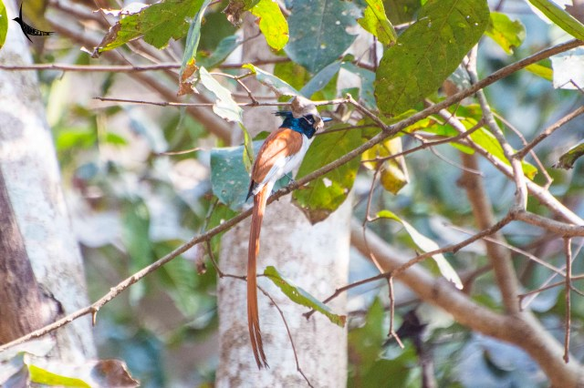 The Rufous male of the Indian Paradise Flycatcher