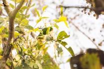Vernal hanging parrot female