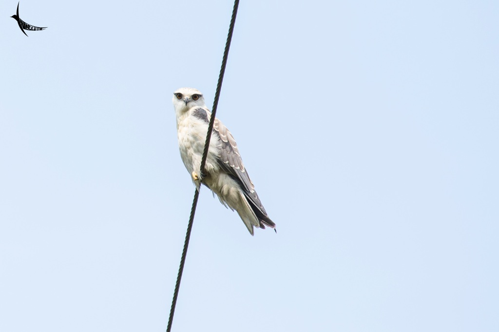 A black-winged kite