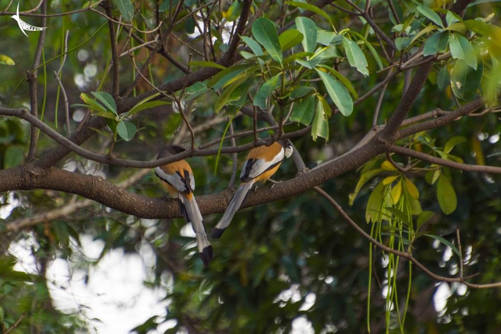 A pair of Rufous Treepie