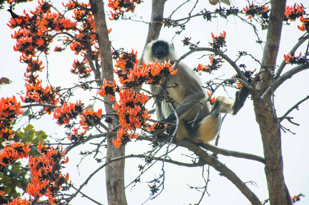 The langur relishes the sweet Palash