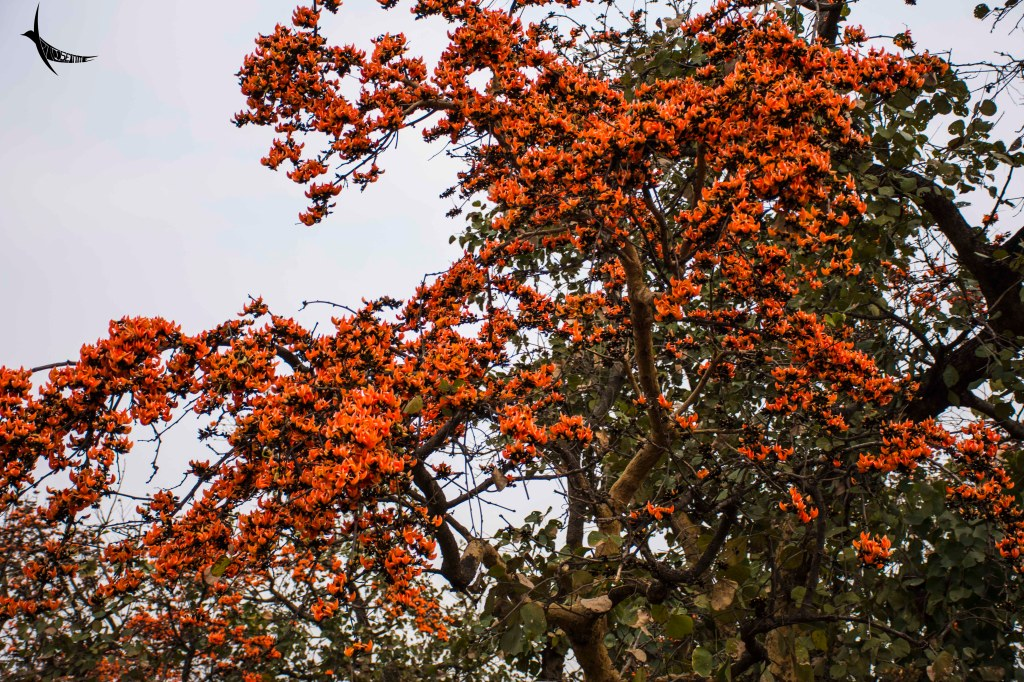 Palash or the Flame-of-the-forest
