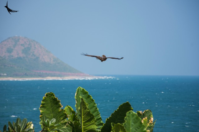 The black kite looks back at my camera