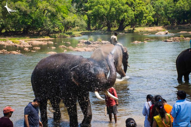 Now its turn for the elephant to bath the visitors