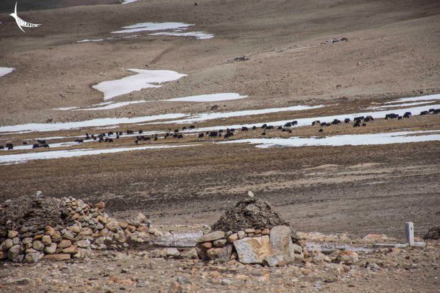 Yaks grazing on the barren land