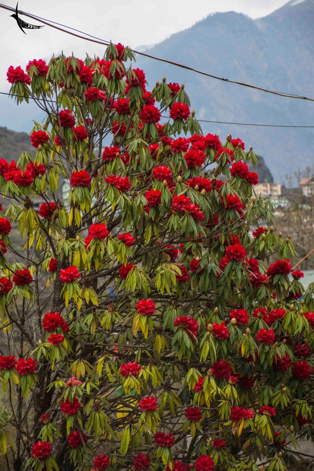 The pretty red Rhododendrons