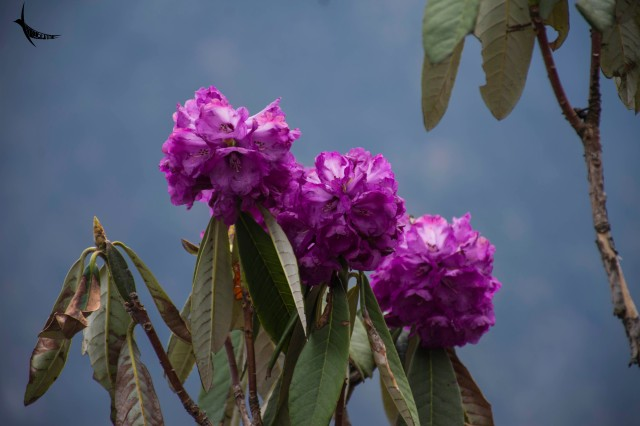 I loved this pretty Rhodendron
