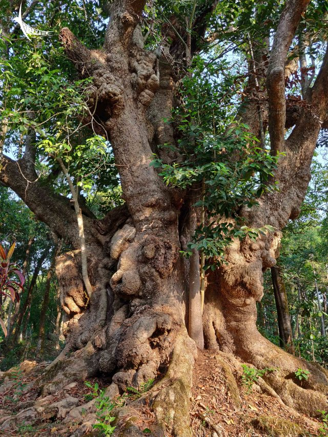 An ancient tree in the organic farm