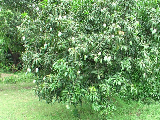 Langra Mangoes in Bhagalpur Bihar PC: Wikipedia