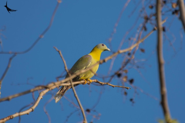 Yellow-footed green Pegion