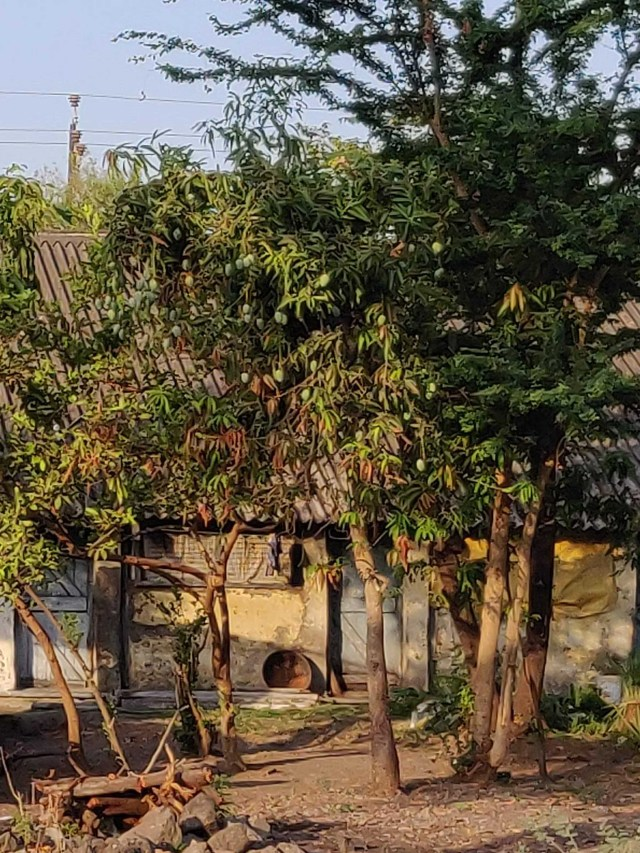 A small tree laden with mangoes, what a pleasant sight :)