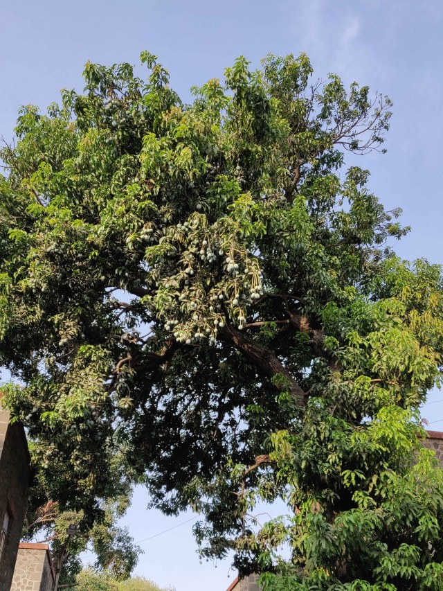 I love to watch mango trees with the fruit