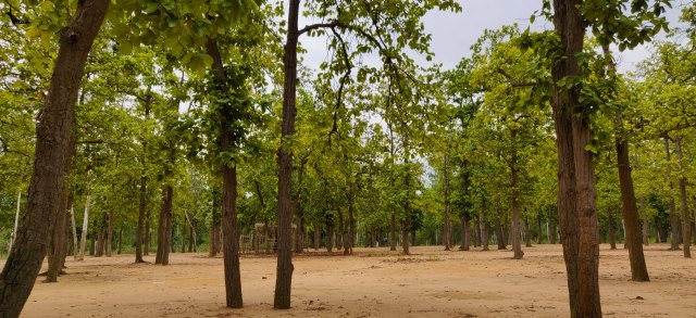 'Palashboni' (Forest of Palash) which is actually a forest of Sal