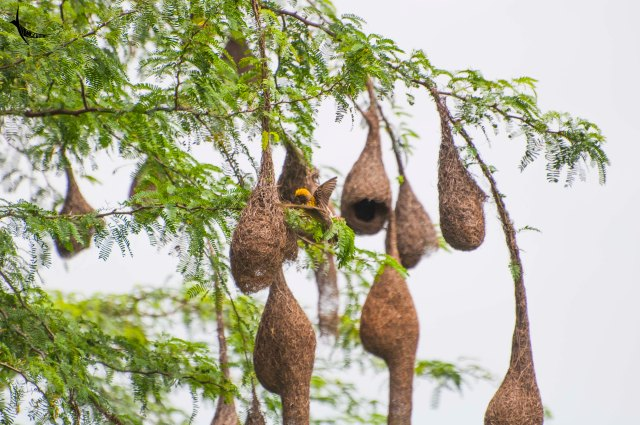 Baya Weaver colony in my neighbourhood, isn't it amazing to share the same locale with such lovely neighbours?