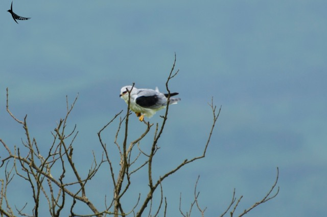 A black Shouldered Kite quivering in the strong winds