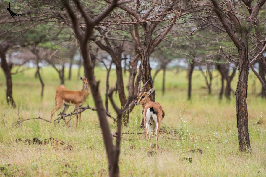 Indian Gazelle or Chinkara