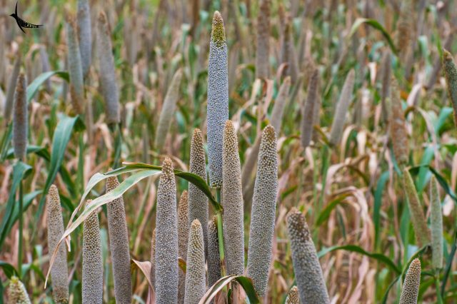 Pearl millet grown in the surrounding farms
